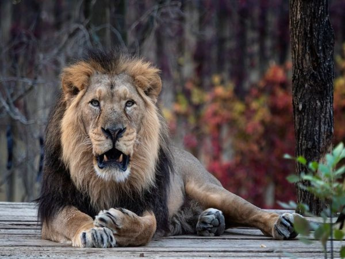 Hindistan da 8 aslan koronavirüse yakalandı #1