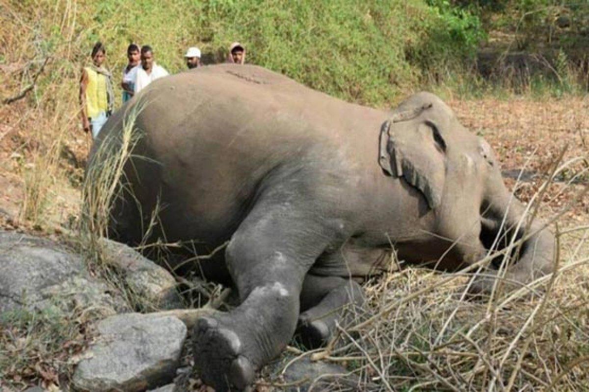 Hindistan da yıldırım düşmesinin ardından 18 fil ölü bulundu #1