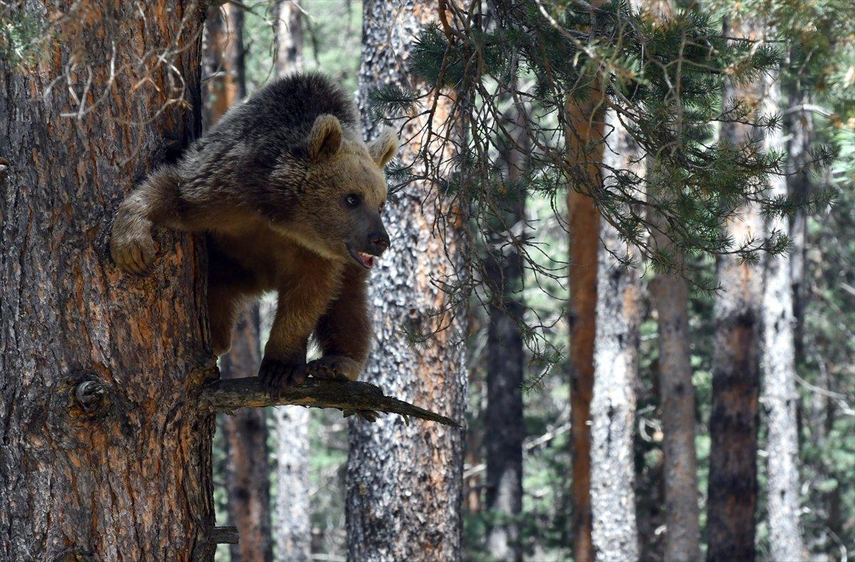 Kars ta, bozayının ağacın tepesinde beslendiği anlar #3