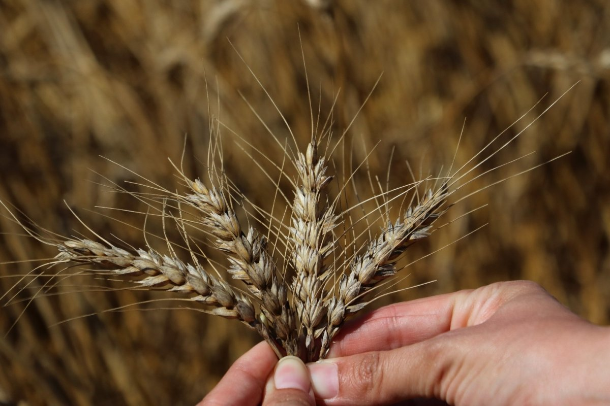 Adana da buğday hasadı başladı #6