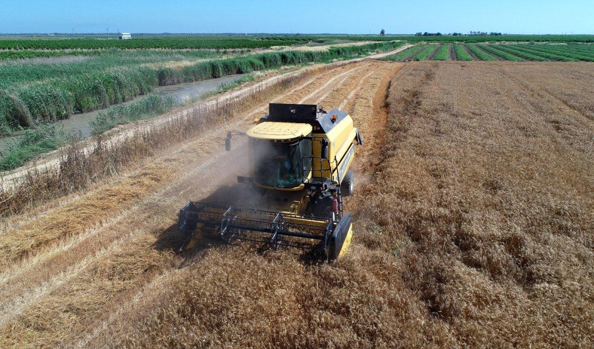 Adana da buğday hasadı başladı #2