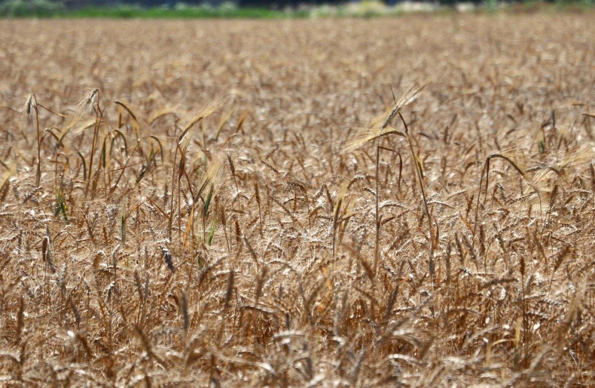 Adana da buğday hasadı başladı #5