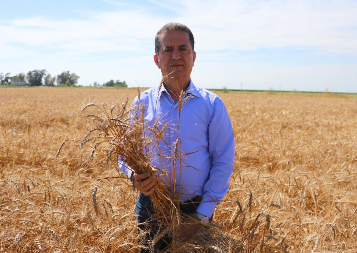 Adana da buğday hasadı başladı #1