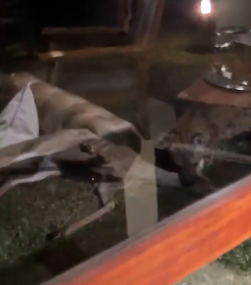 Güney Afrika da sırtlanın antilop avı görüntülendi #1