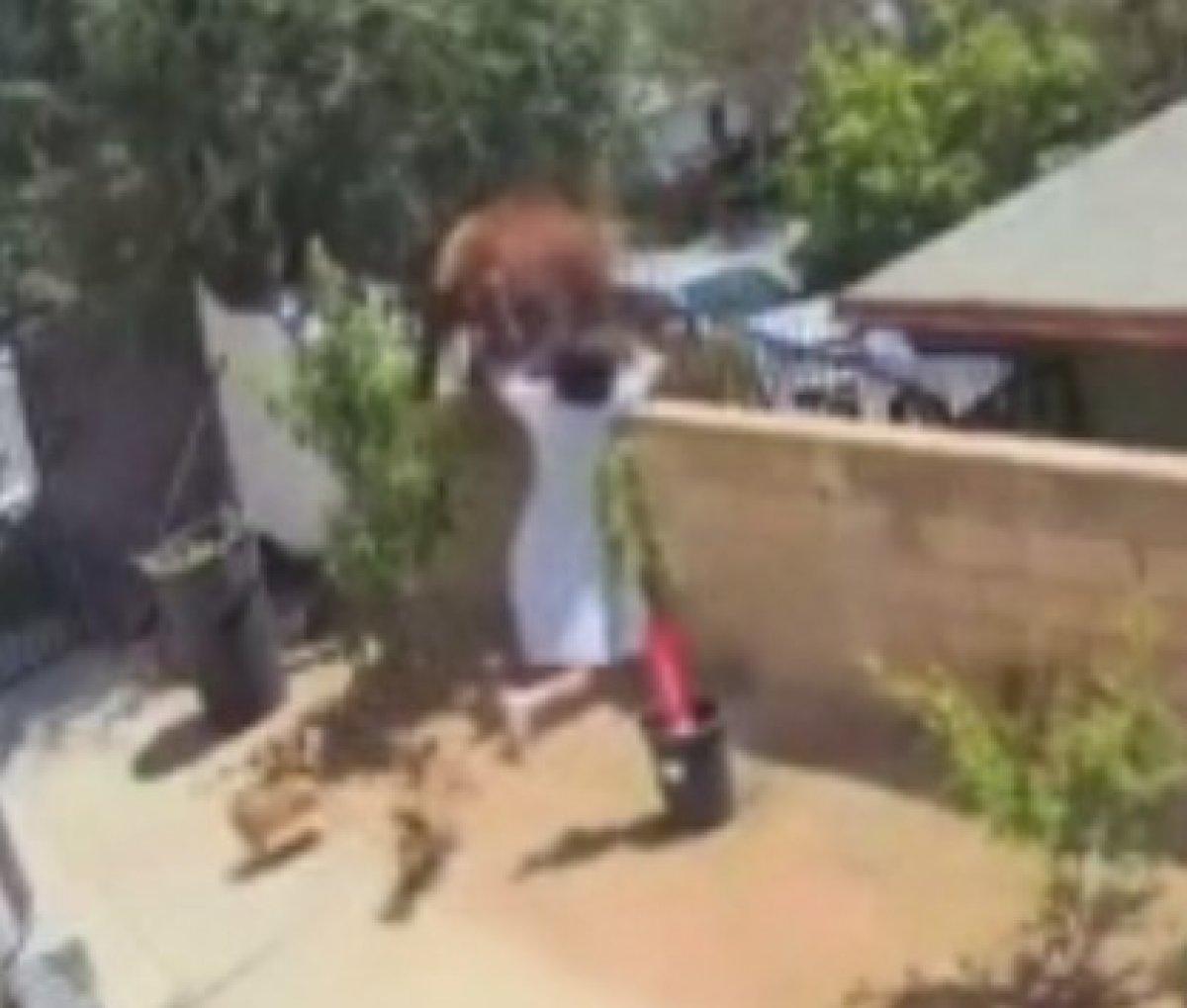 ABD'de bir kadın köpeklerini kurtarmak için ayıyı iteledi  #2