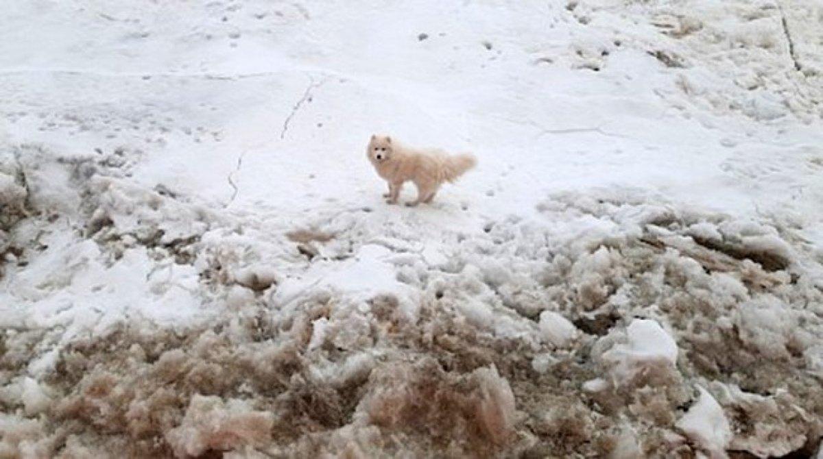 Kuzey Kutbu nda kaybolan köpeği, Rus buzkıran gemisi buldu #1