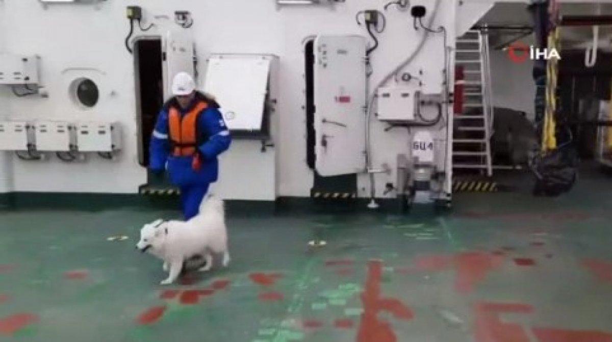 Kuzey Kutbu nda kaybolan köpeği, Rus buzkıran gemisi buldu #5