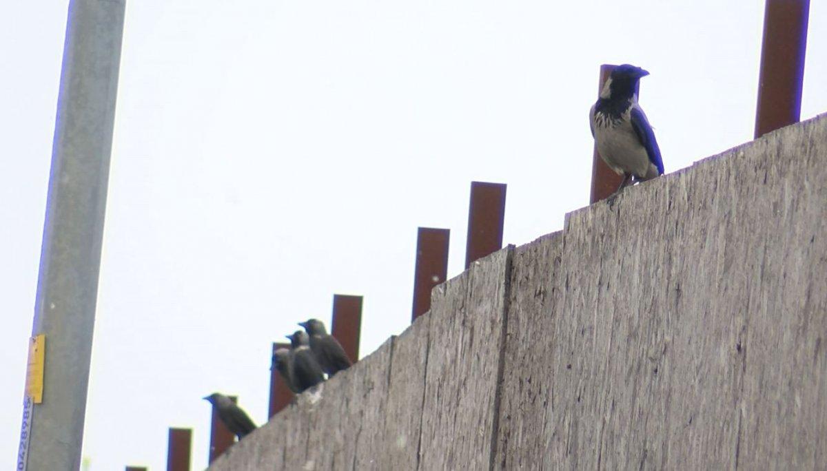 İstanbul da kuşlarda Batı Nil Virüsü tespit edildi #1