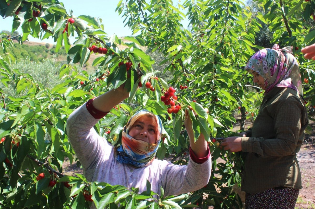 Coğrafi işaret olarak tescillenen Salihli Kirazında hasat başladı #4