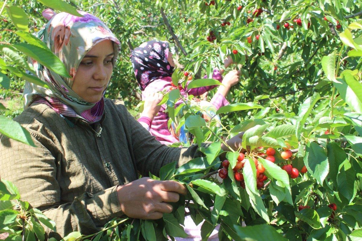 Coğrafi işaret olarak tescillenen Salihli Kirazında hasat başladı #3