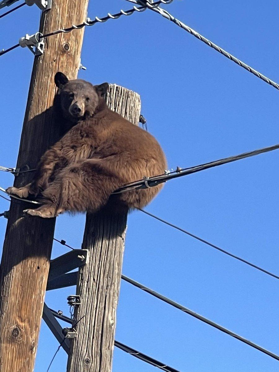 ABD'de ayı, elektrik direğinde mahsur kaldı  #2