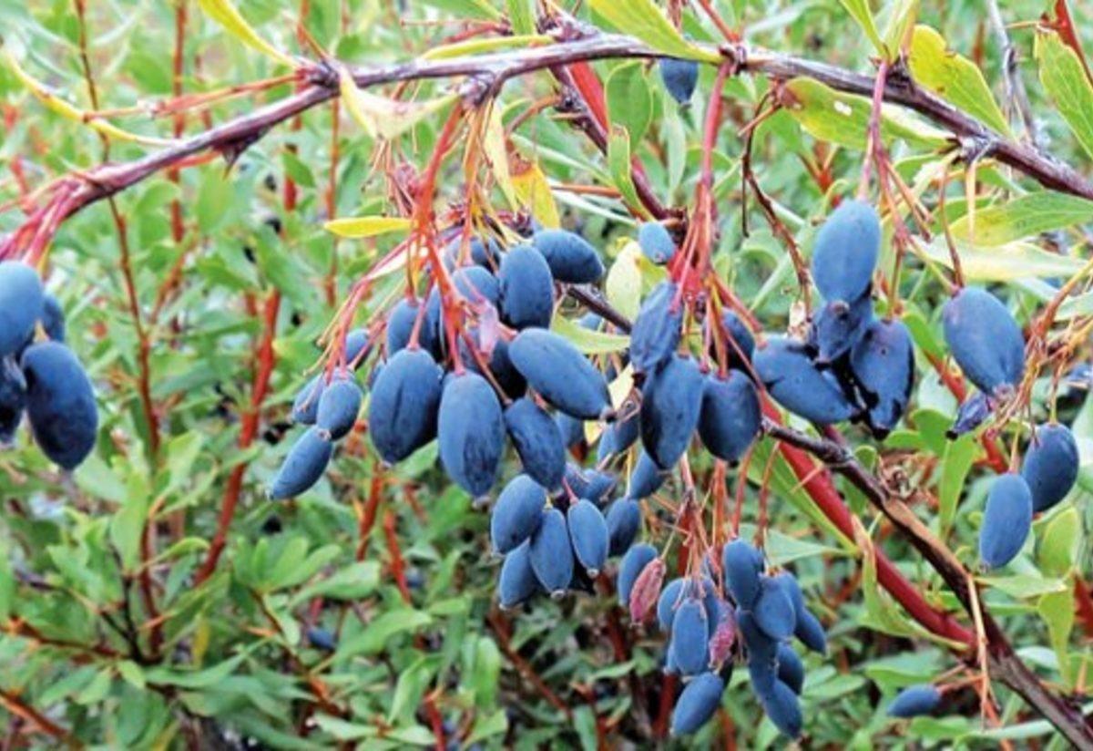 Enfeksiyon hastalıklarına derman: Karamuk bitkisinin faydaları #2