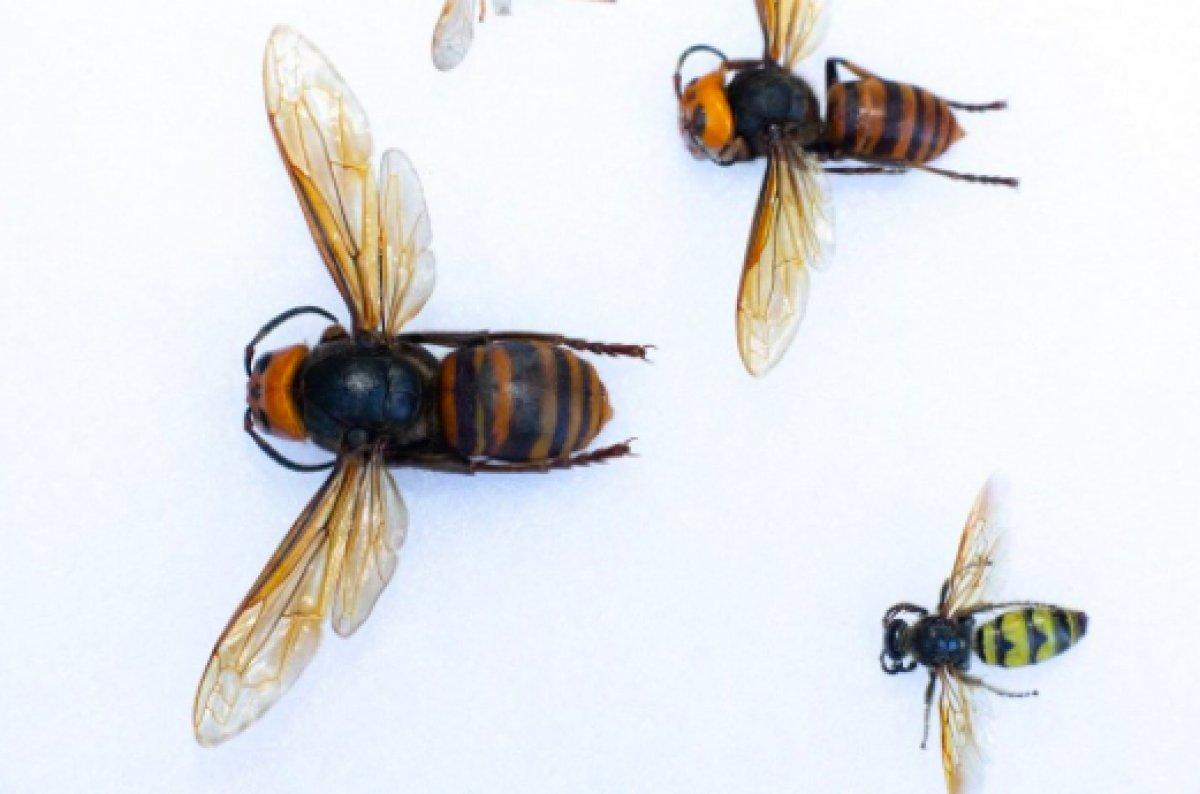 ABD de 2021 in ilk katil eşek arısı görüldü #5
