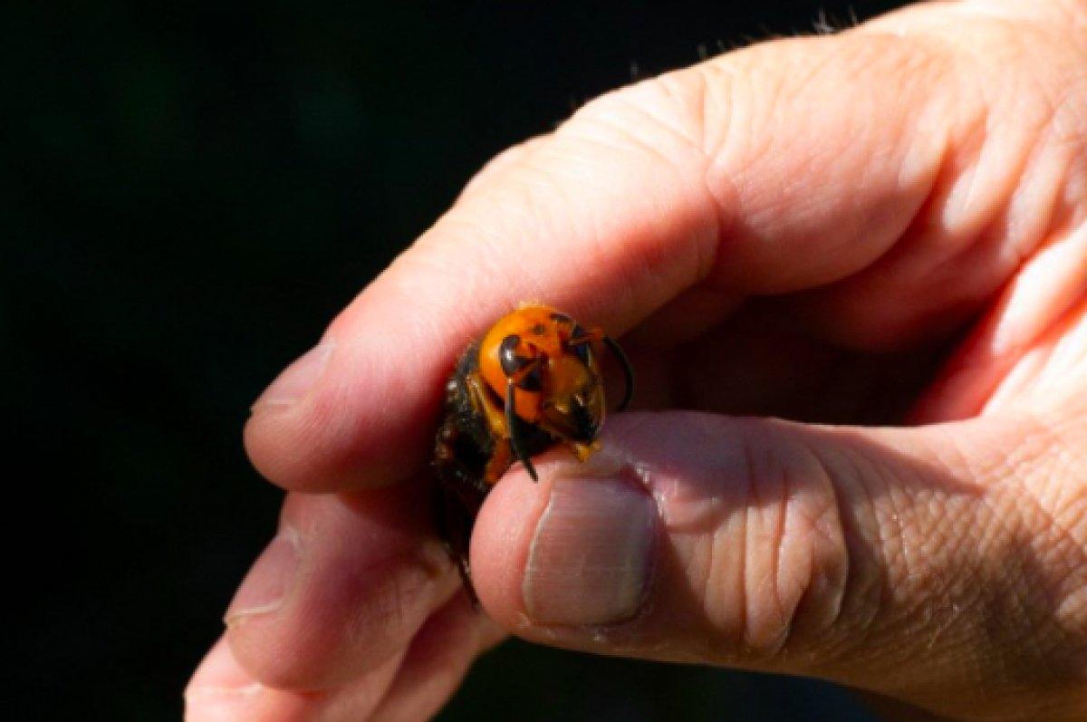 ABD de 2021 in ilk katil eşek arısı görüldü #8