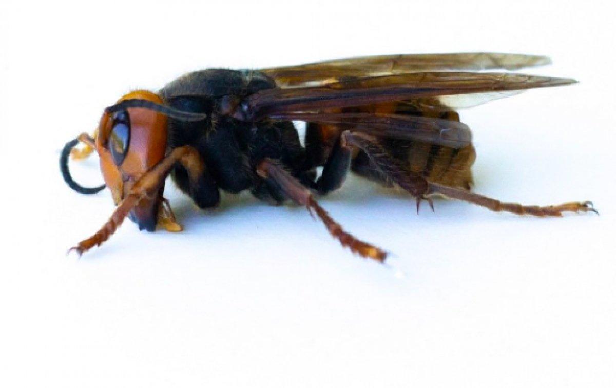 ABD de 2021 in ilk katil eşek arısı görüldü #2