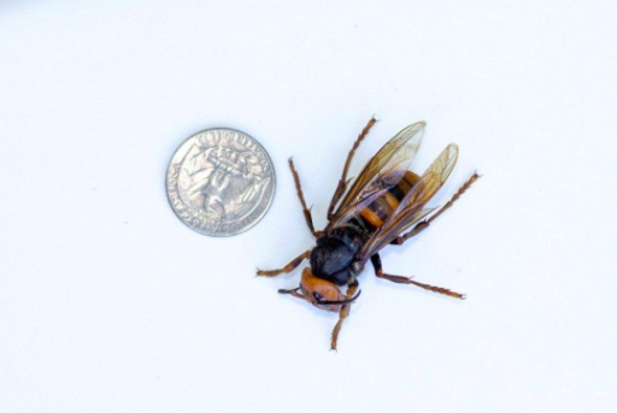 ABD de 2021 in ilk katil eşek arısı görüldü #3