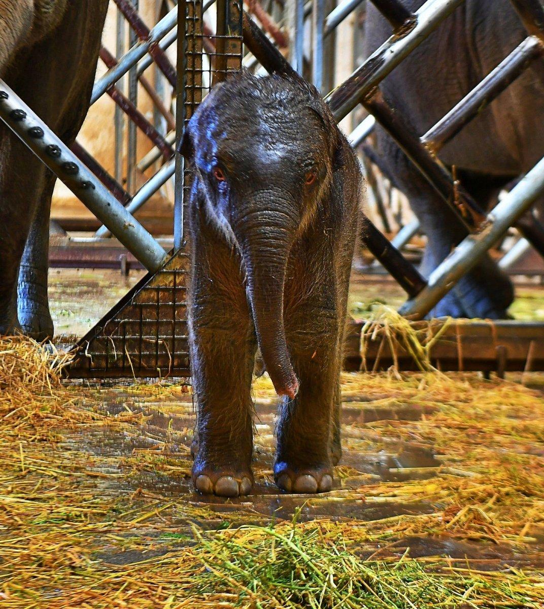İzmir'in fil ailesi üçüncü yavrusuna kavuştu #3