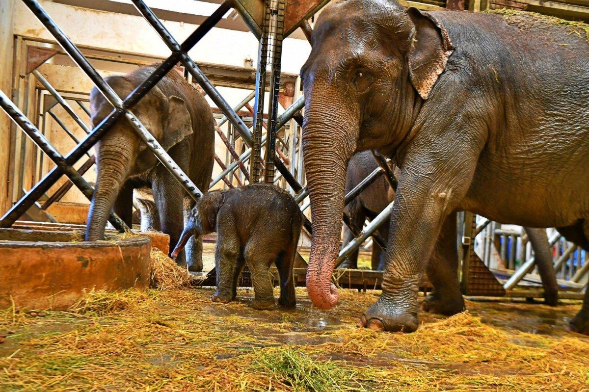 İzmir'in fil ailesi üçüncü yavrusuna kavuştu #2