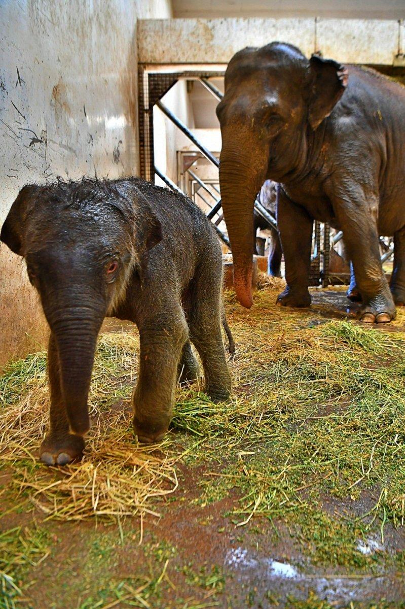 İzmir'in fil ailesi üçüncü yavrusuna kavuştu #4