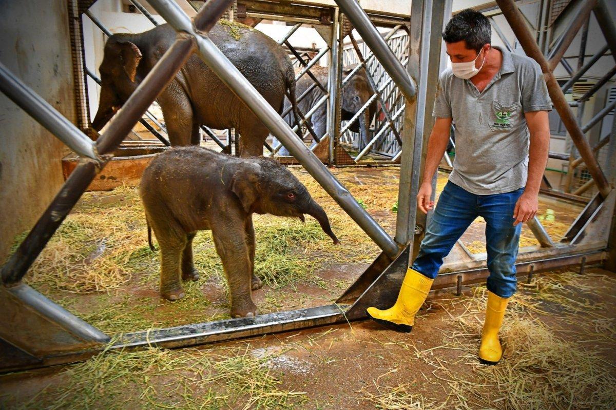 İzmir'in fil ailesi üçüncü yavrusuna kavuştu #1