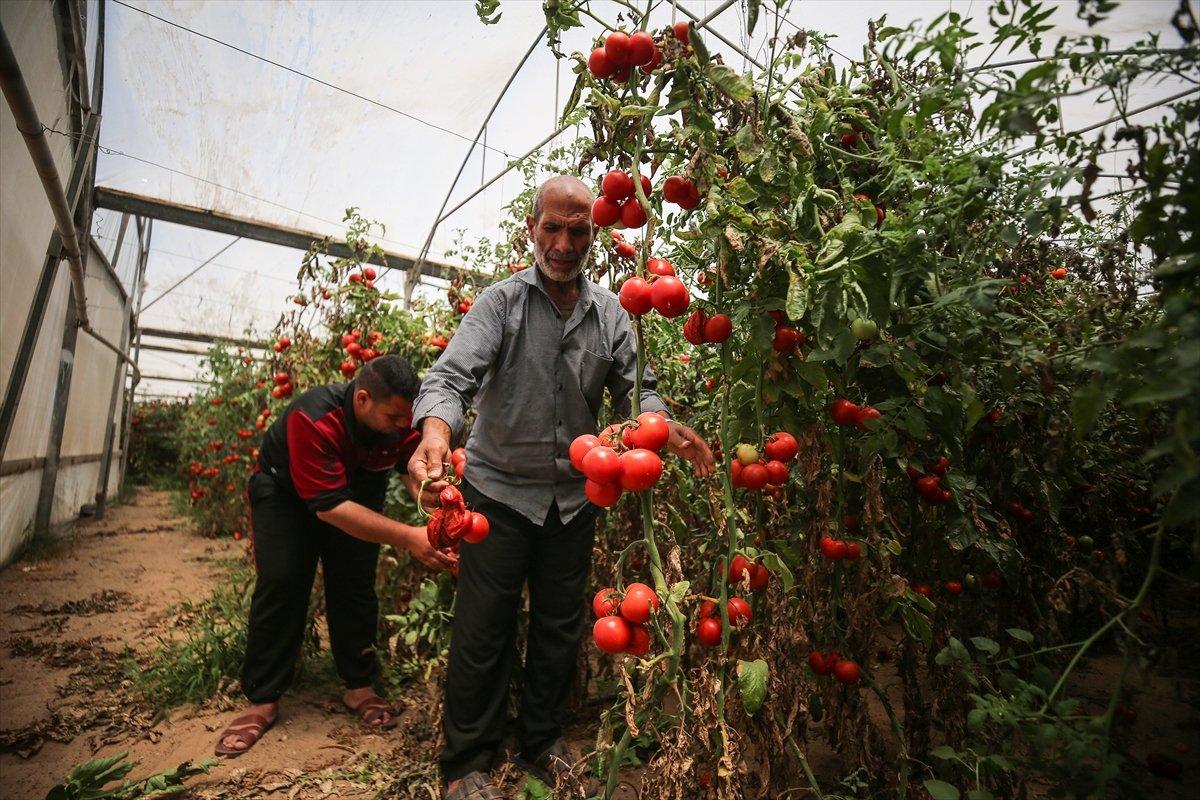 İsrail den Gazzeli çiftçi ve tüccarlara  sapsız domates  baskısı #10