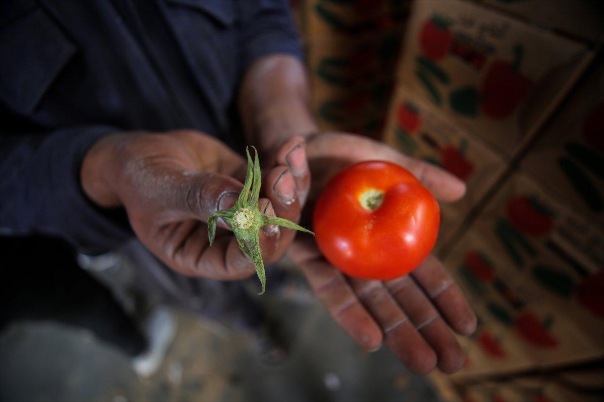 İsrail den Gazzeli çiftçi ve tüccarlara  sapsız domates  baskısı #2