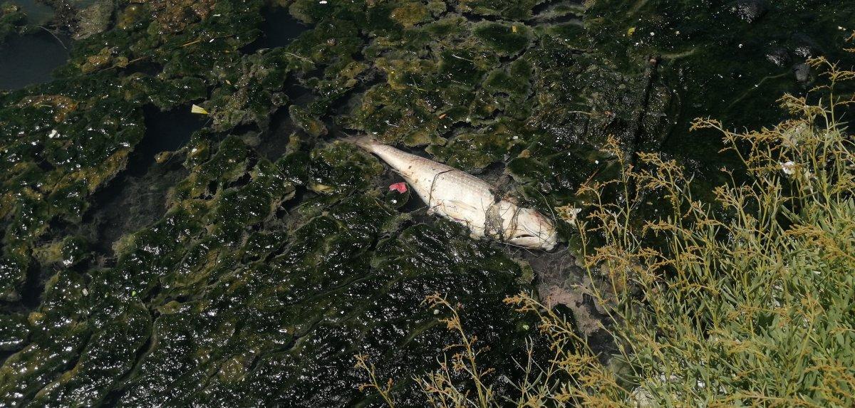 Büyükçekmece Gölü nde ölü balıklar kıyıya vurdu #2
