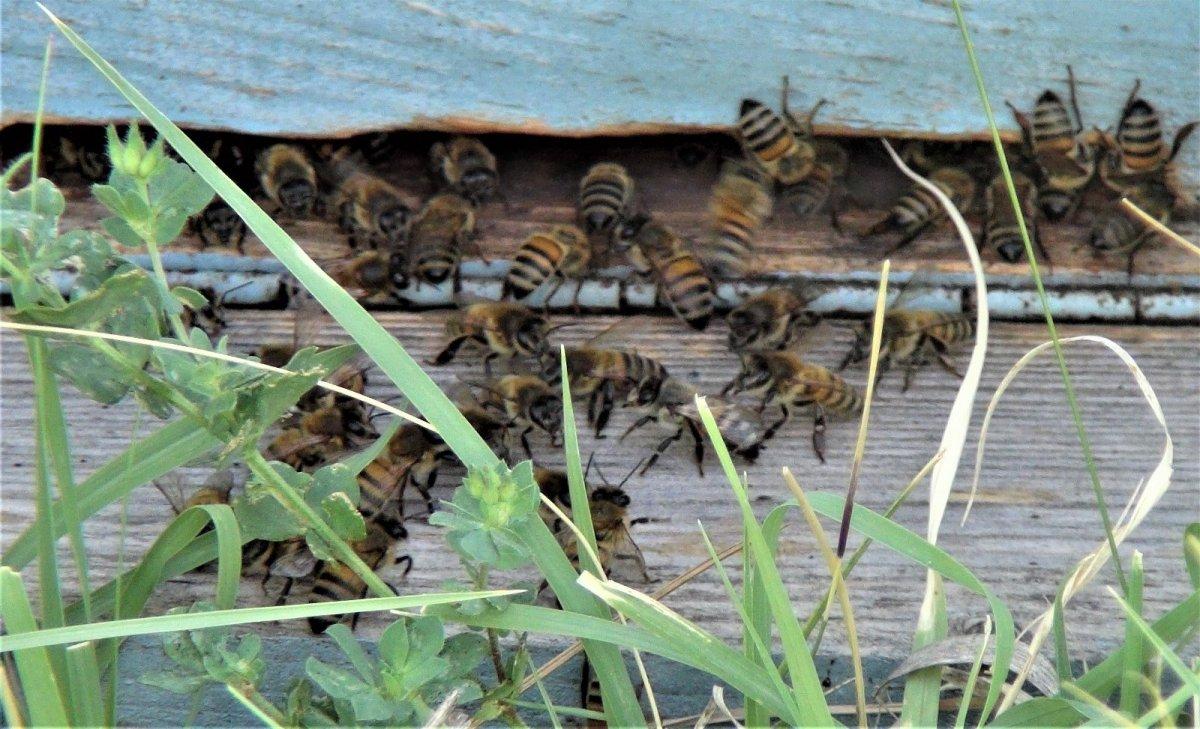 Van da kuraklıktan arıcıları etkiledi #2