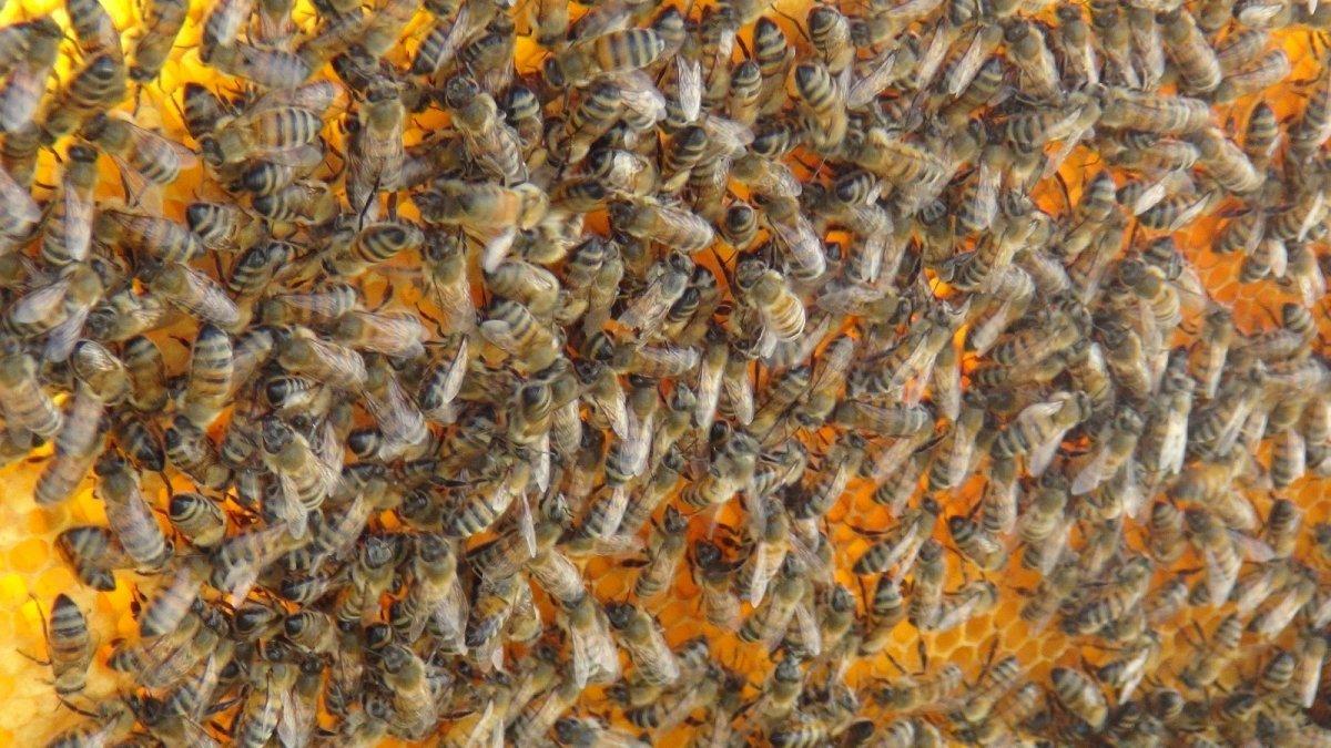 Van da kuraklıktan arıcıları etkiledi #1