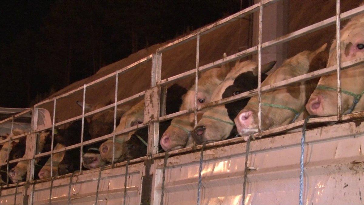 İstanbul'a kurbanlık hayvanların girişi başladı #6
