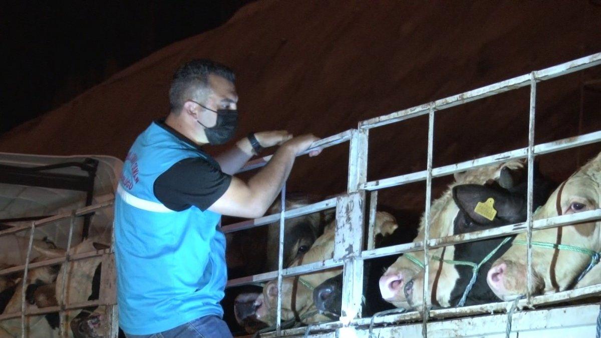 İstanbul'a kurbanlık hayvanların girişi başladı #4