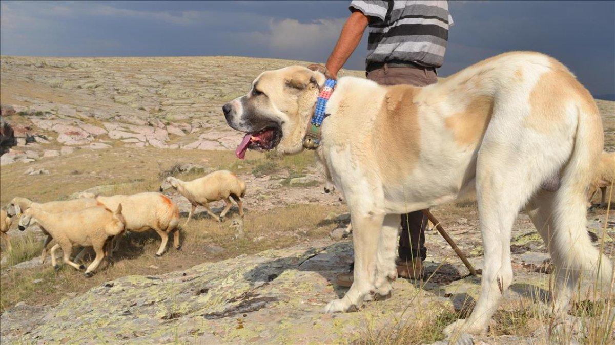 Sivas ta kangal köpeği üretim ve eğitim merkezi açıldı #3