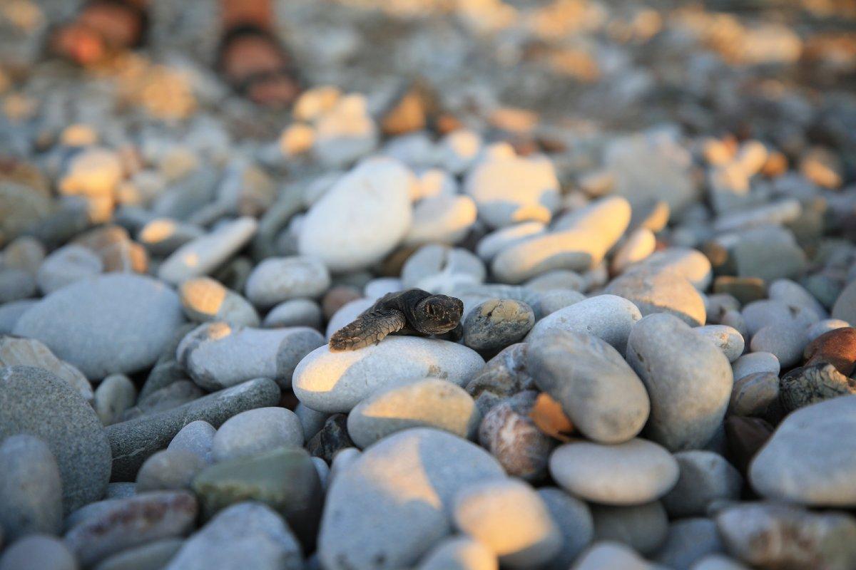 Antalya da caretta caretta yavrularının denize doğru zorlu yolculuğu başladı #7