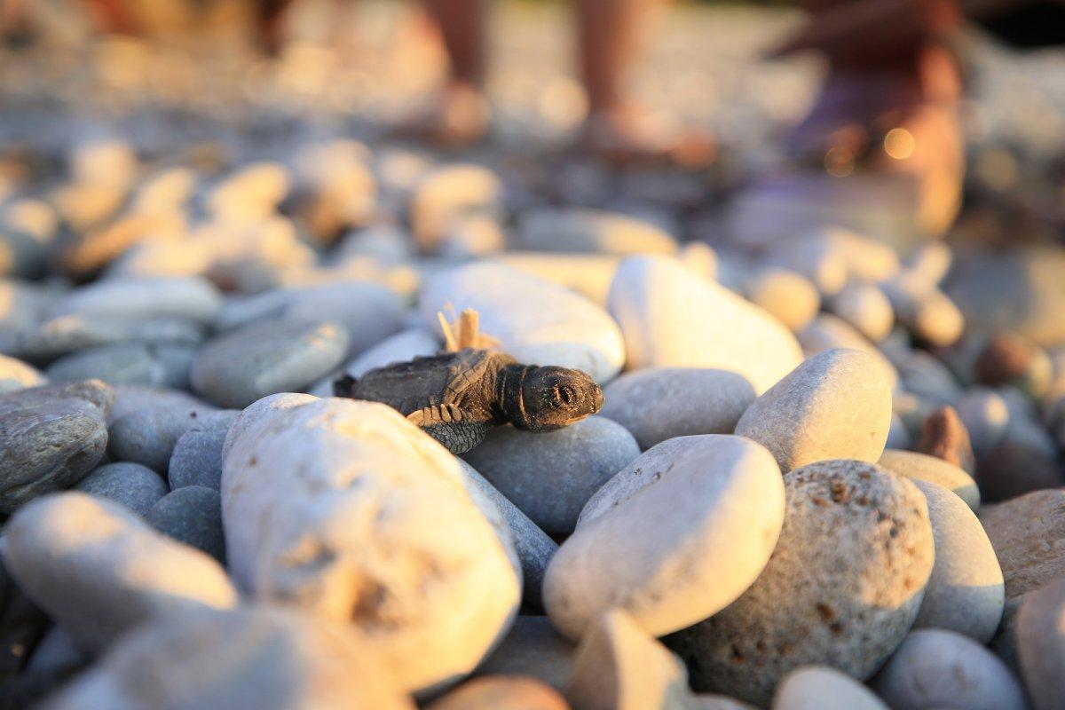 Antalya da caretta caretta yavrularının denize doğru zorlu yolculuğu başladı #6