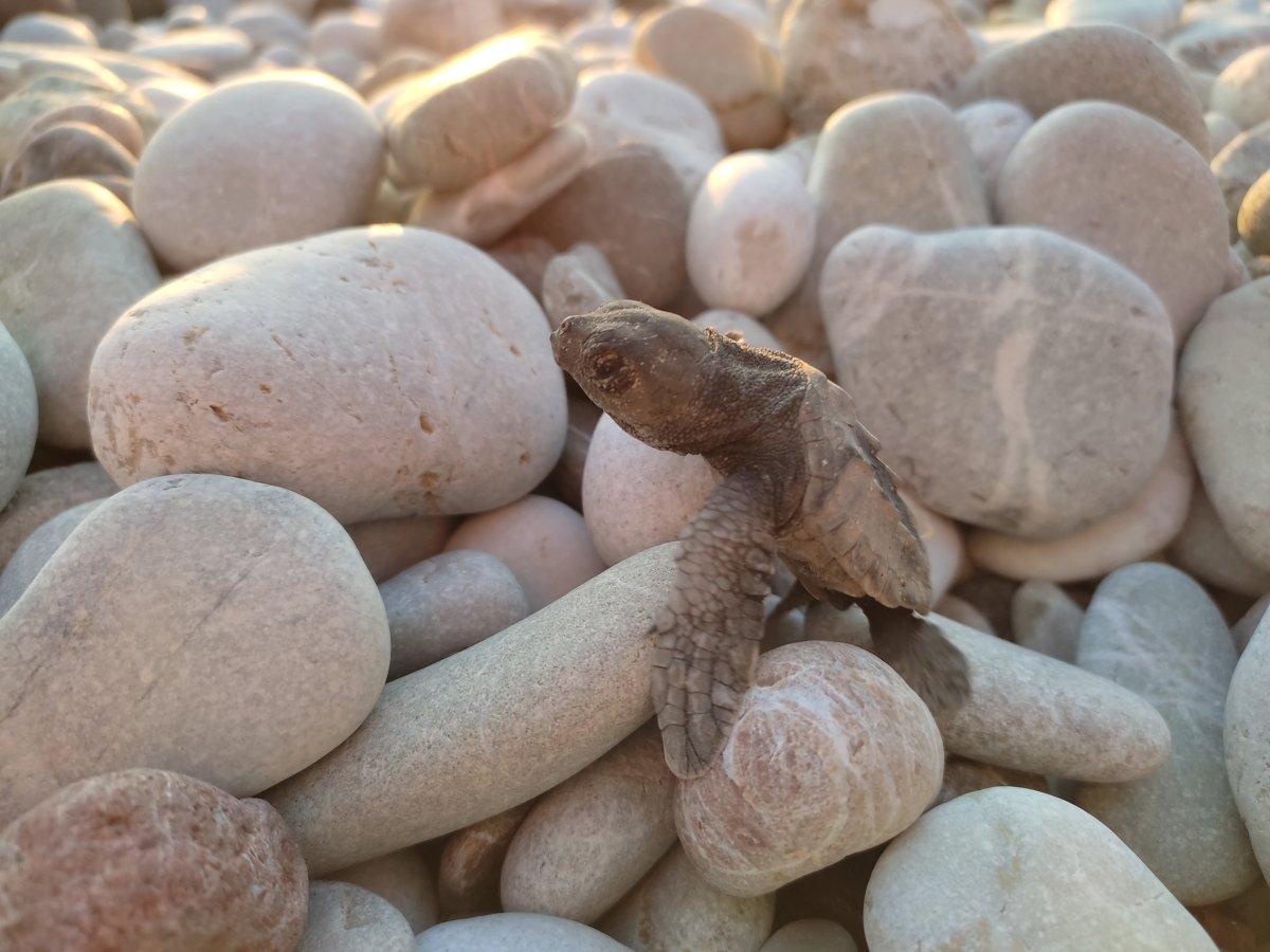 Antalya da caretta caretta yavrularının denize doğru zorlu yolculuğu başladı #1