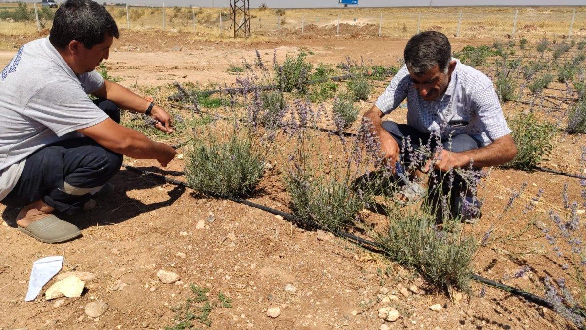 Terörden arındırılan Şuruç ta ilk defa lavanta yetiştirildi #1