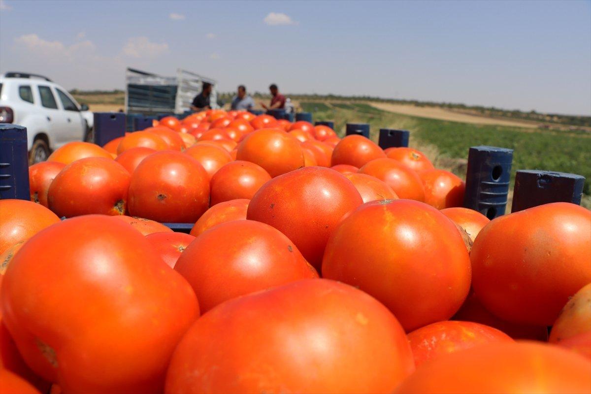 Kilisli domates talebine yetişemiyor #1