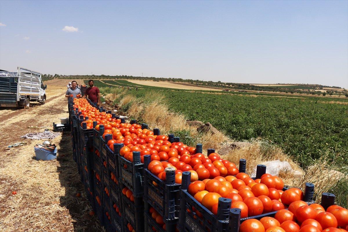Kilisli domates talebine yetişemiyor #5