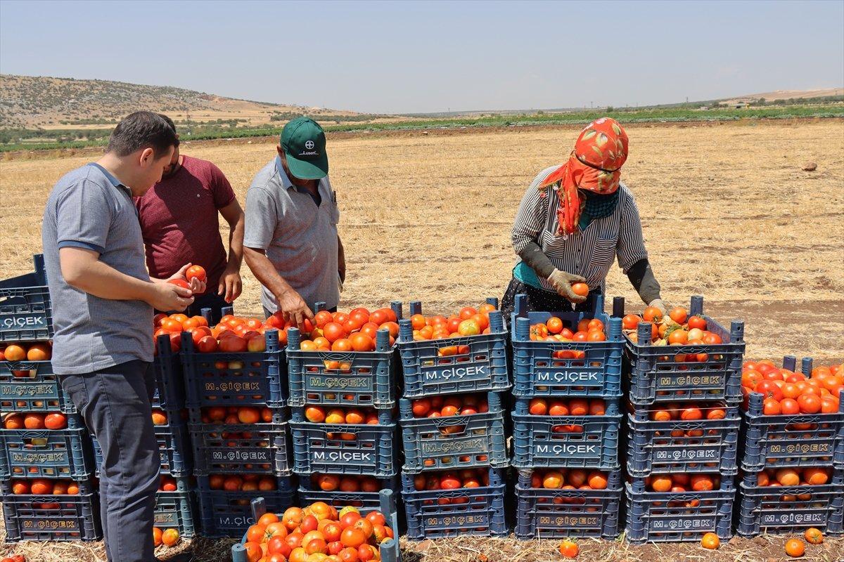 Kilisli domates talebine yetişemiyor #3