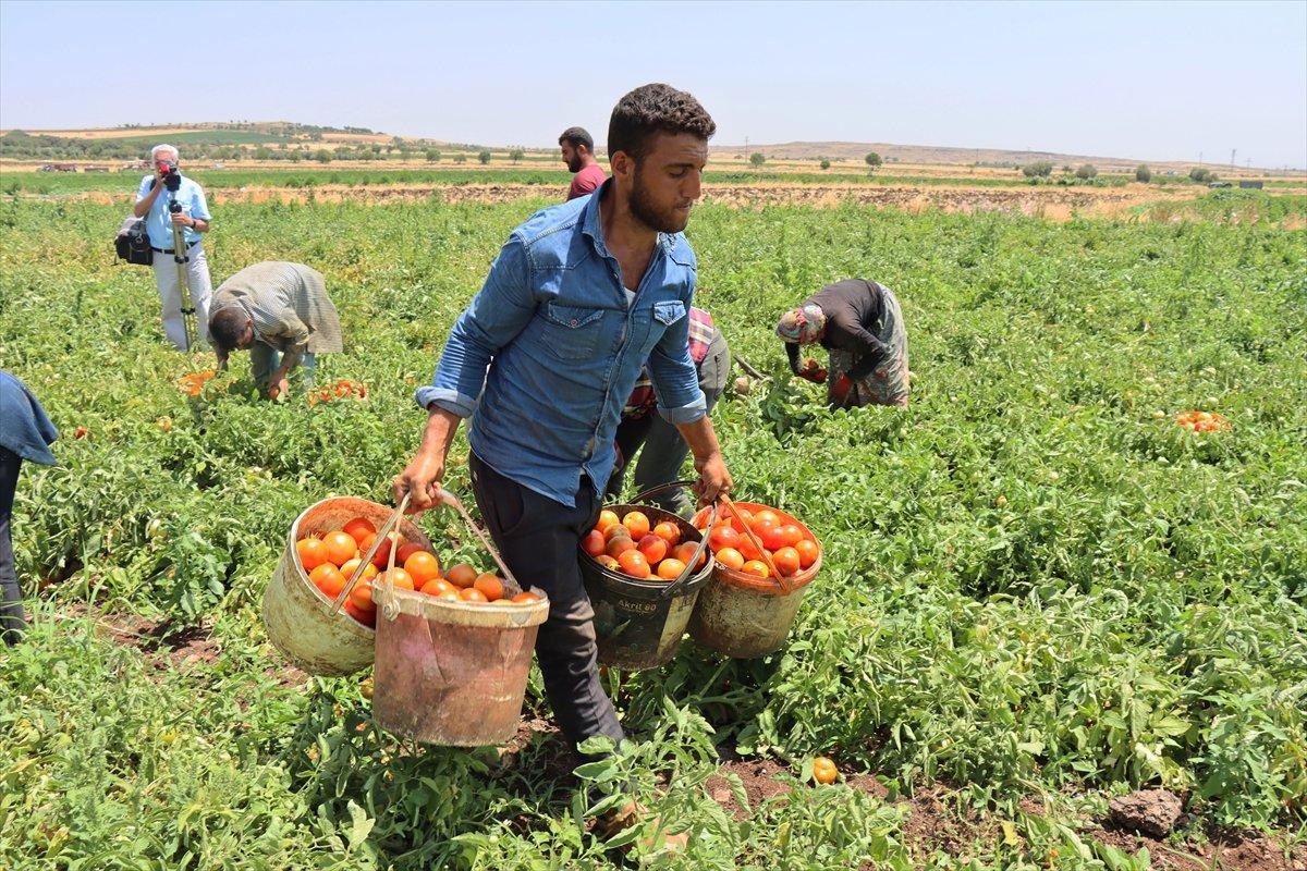 Kilisli domates talebine yetişemiyor #4