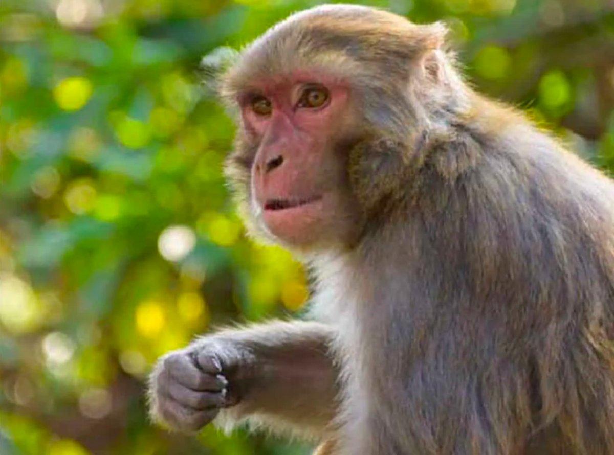 Çin de Monkey B virüsü kaynaklı ilk ölüm  #1