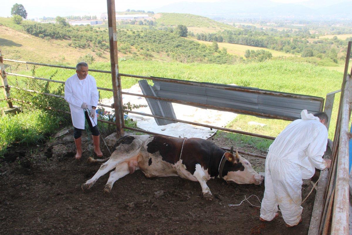 Düzce de bir veteriner 1 tonluk huysuz boğayı tek başına yatırdı #3