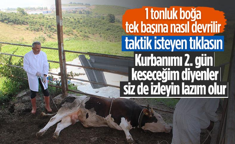 Düzce'de bir veteriner 1 tonluk huysuz boğayı tek başına yatırdı