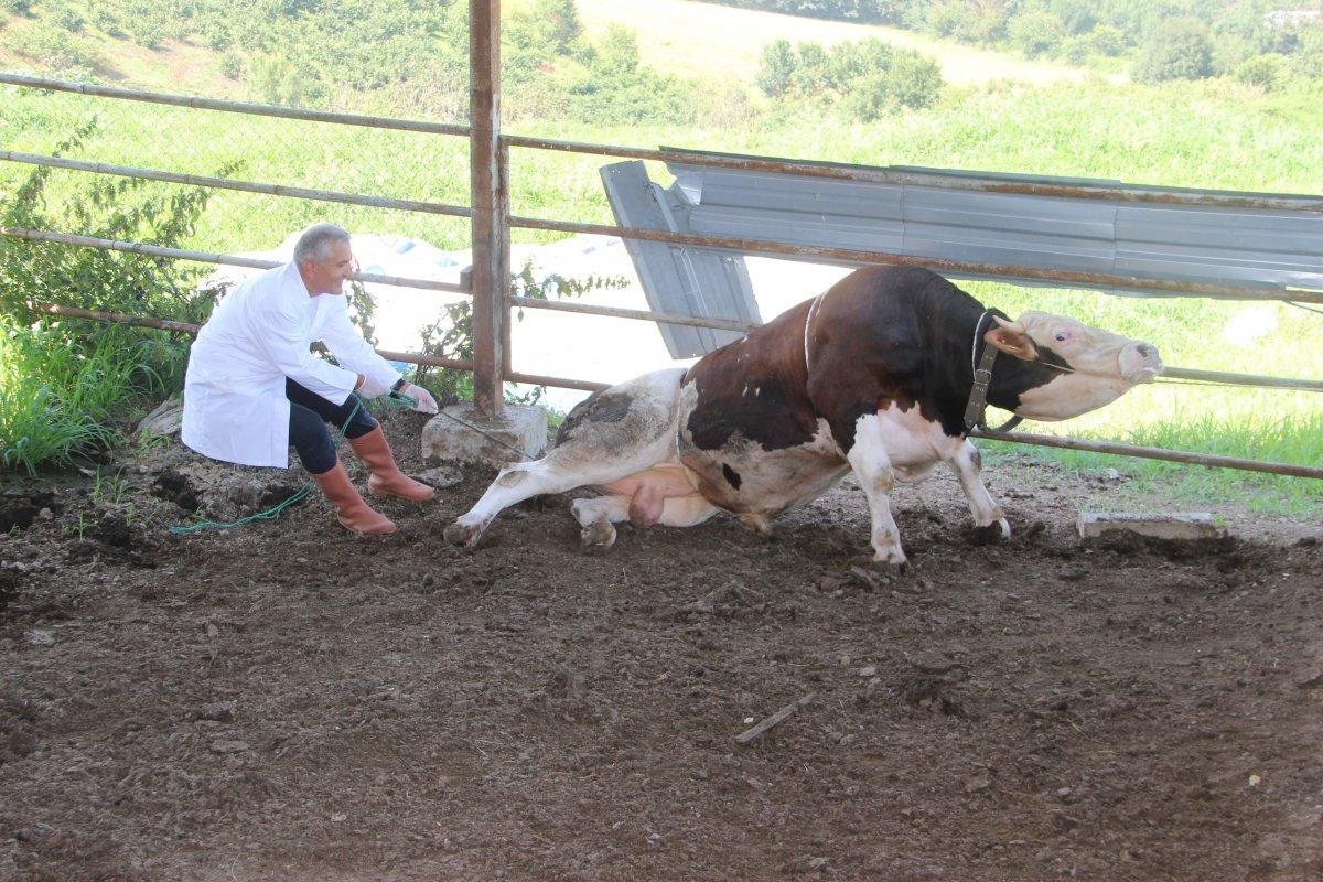 Düzce de bir veteriner 1 tonluk huysuz boğayı tek başına yatırdı #2
