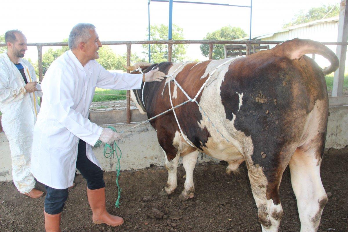 Düzce de bir veteriner 1 tonluk huysuz boğayı tek başına yatırdı #1