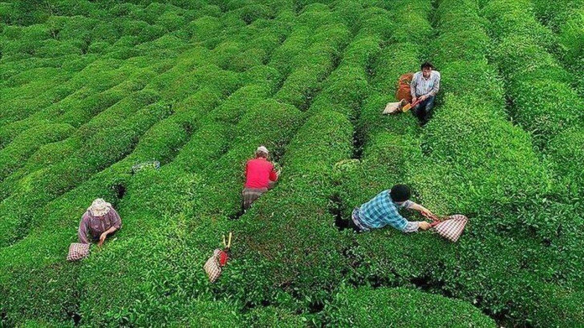Yaş çay alımları yeniden başladı! Çaykur yaş çay alım fiyatları ne kadar? #1