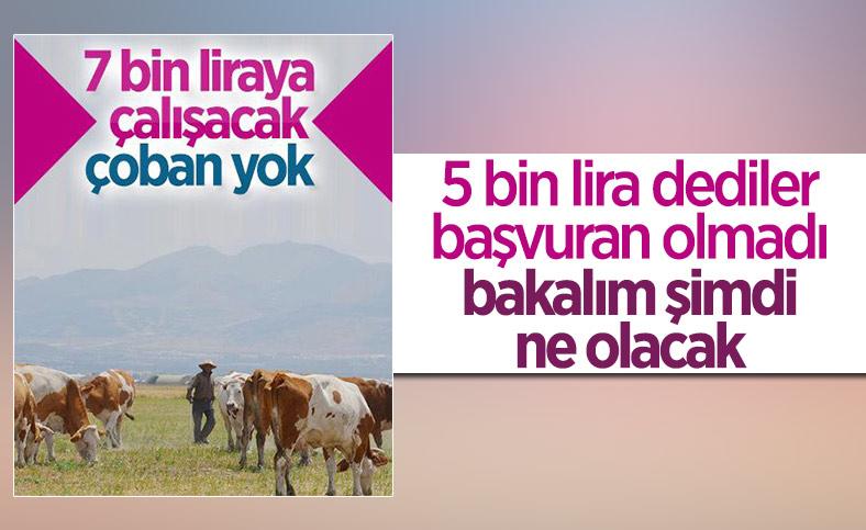 Erzurum'da çoban sıkıntısı: 7 bin lirayı beğenmiyorlar