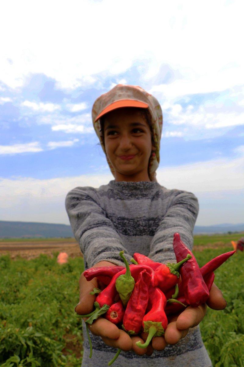 Gaziantep te  acıların hasadı  başladı #8