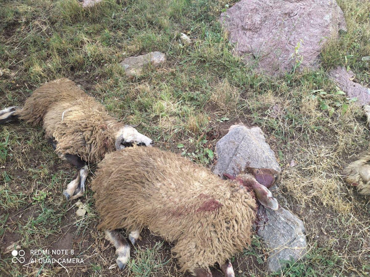 Yüksekova da yıldırım isabet eden 30 koyun öldü #2