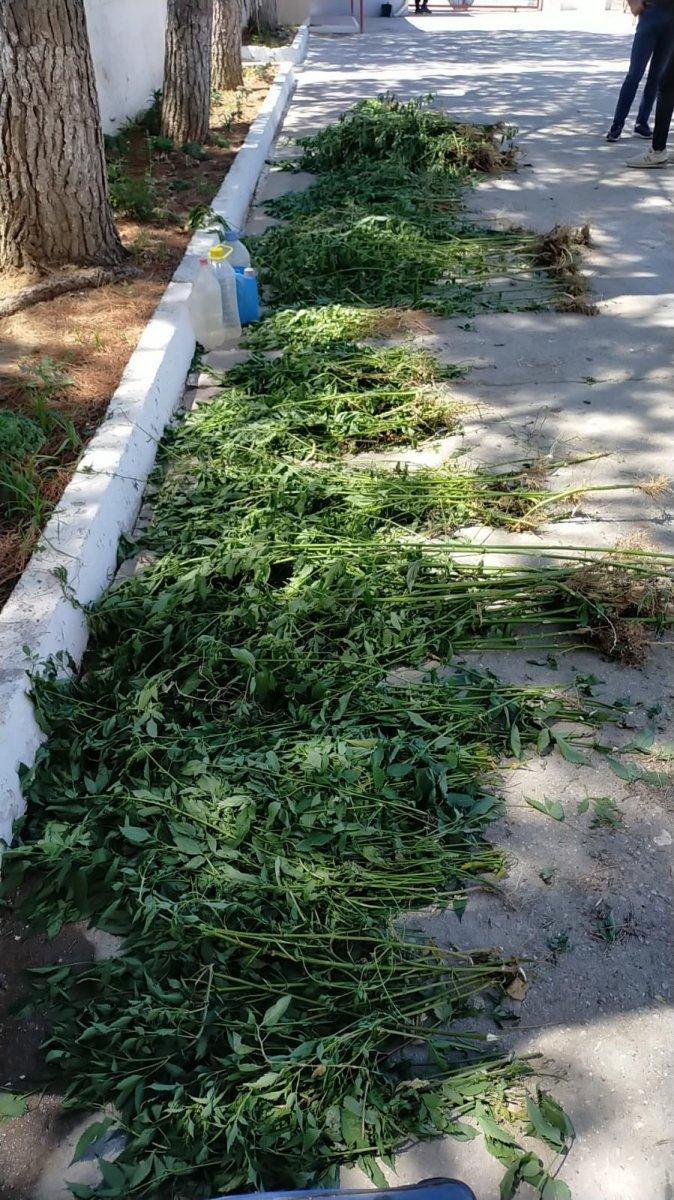 Manisa da dere yatağındaki sazlık alanda bin 624 kök kenevir ele geçirildi #4